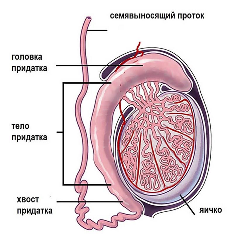 Белорусский чай лечение простатита