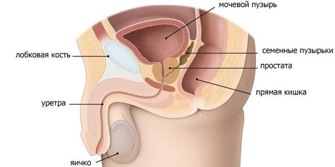 Какой объем предстательной железы в норме?
