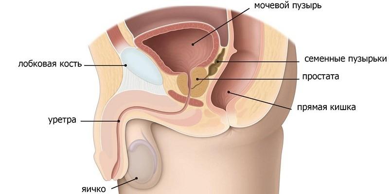 Предстательная железа и размеры её нормы