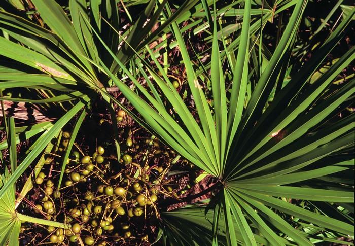Препараты с экстрактом пальмы сабаль для женщин и мужчин